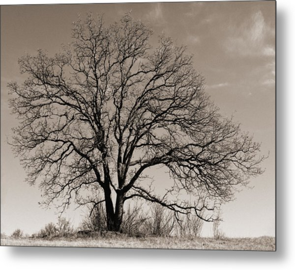 Oak In Sepia Metal Print