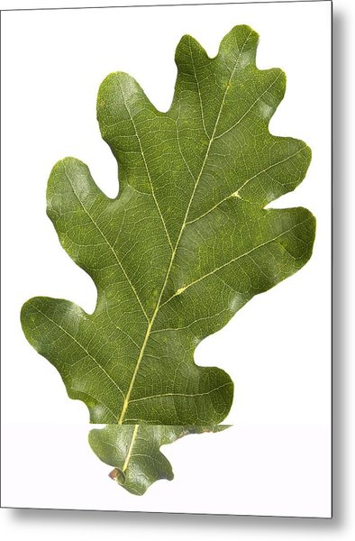 Oak (quercus Robur) Leaf Metal Print by Science Photo Library