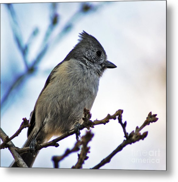 Oak Titmouse Metal Print