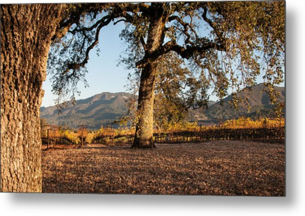 Oak Trees In The Vineyard Metal Print by Kent Sorensen