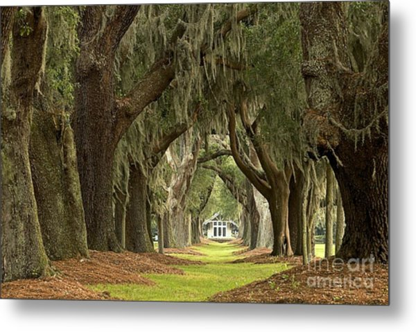 Oaks Of The Golden Isles Metal Print