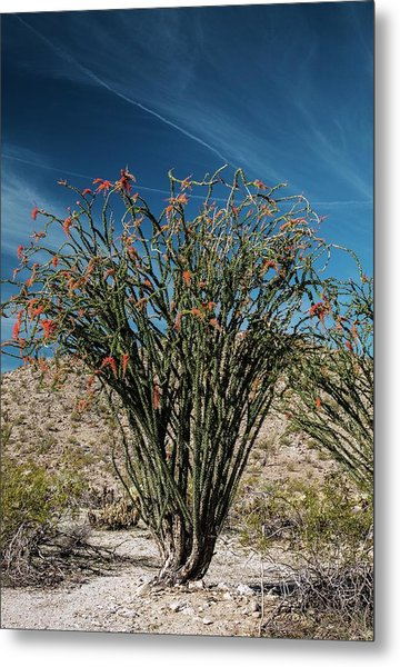 Ocotillo (fouquieria Splendens) In Flower Metal Print