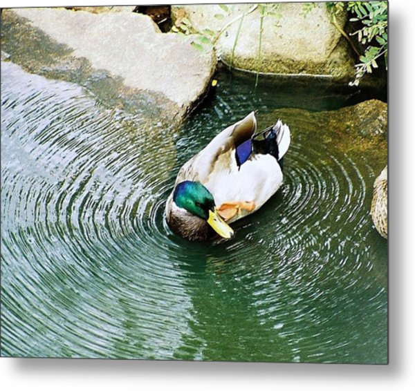 Oh To Be A Duck Metal Print