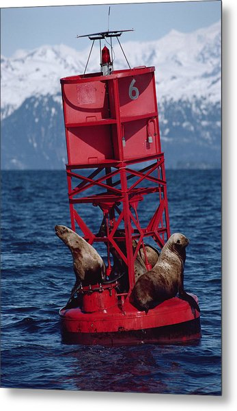 Oil Stained Stellers Sea Lions Prince Metal Print