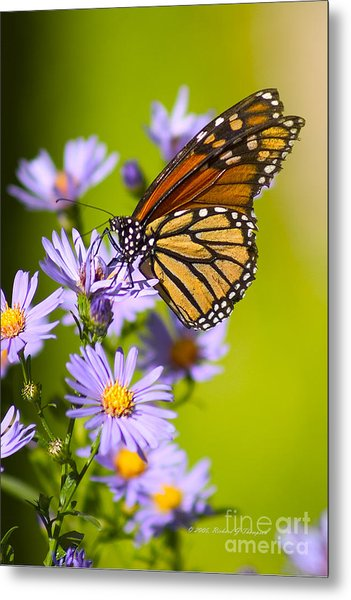 Old Butterfly On Aster Flower Metal Print