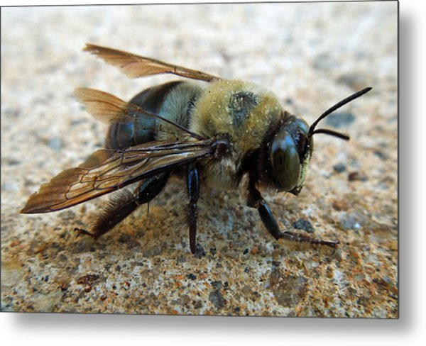 Old Carpenter Bee Metal Print