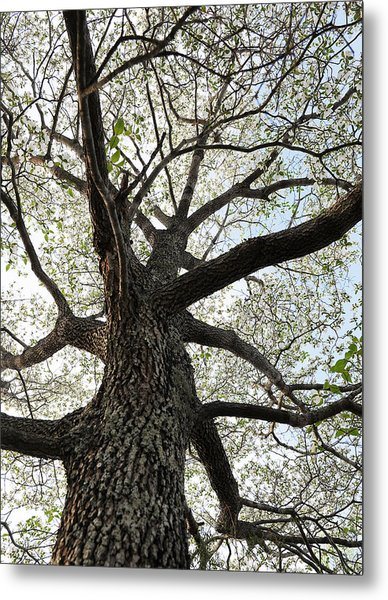 Old Dogwood Tree Metal Print by Giffin Photography