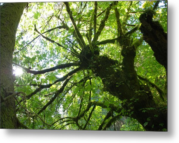 Old Growth Tree In Forest Metal Print