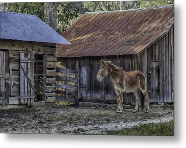 Old Red Mule Metal Print
