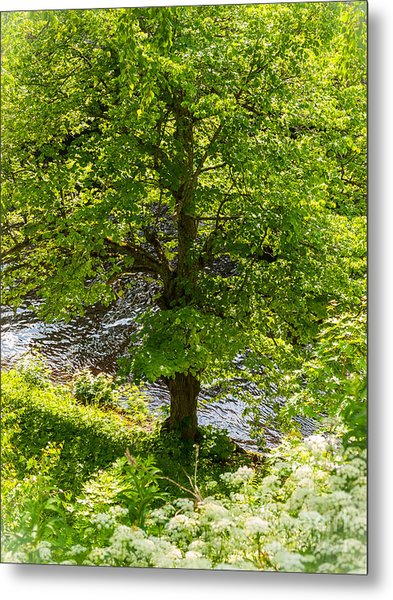 Old Small Leaved Lime At The Riverbank In Oravi Metal Print