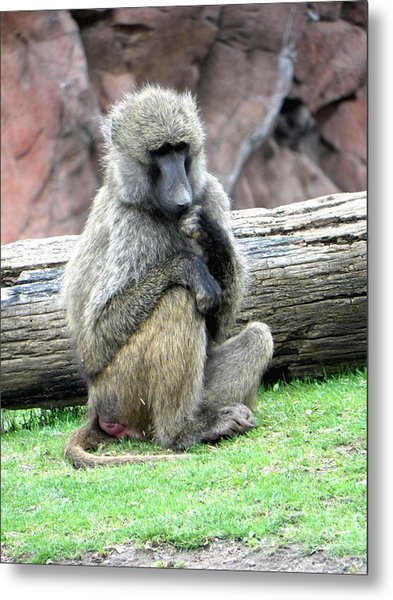 Olive Baboon Metal Print by Michael Caron