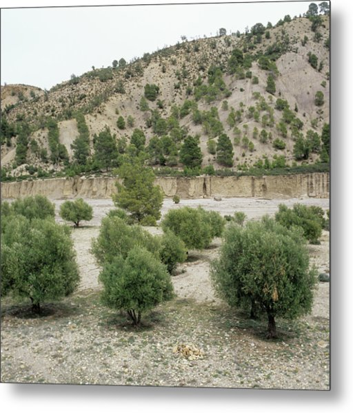 Olive Trees Metal Print by Mark De Fraeye/science Photo Library