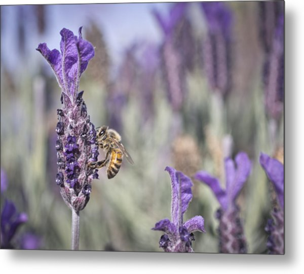 Metal Print featuring the photograph On The Lavender  by Priya Ghose