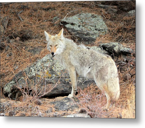 Metal Print featuring the photograph On The Prowl by Shane Bechler