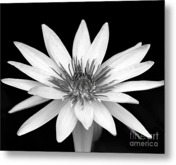 One Black And White Water Lily Metal Print