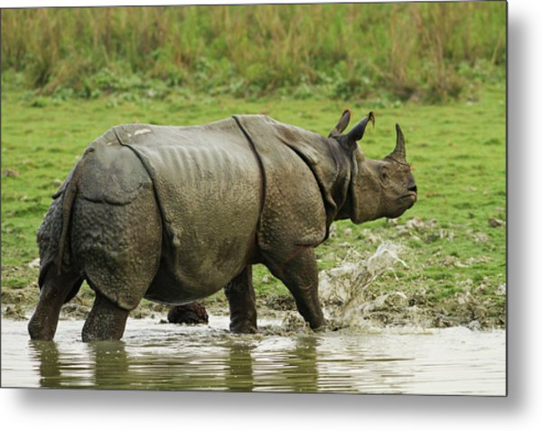 One-horned Rhinoceros, Coming Metal Print