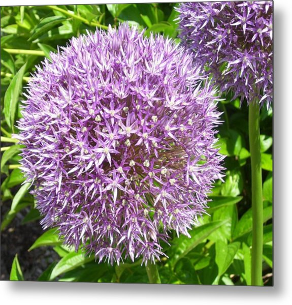 Onions Anyone Metal Print