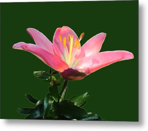 Open Pink Lily Metal Print by Annmarie Clarke