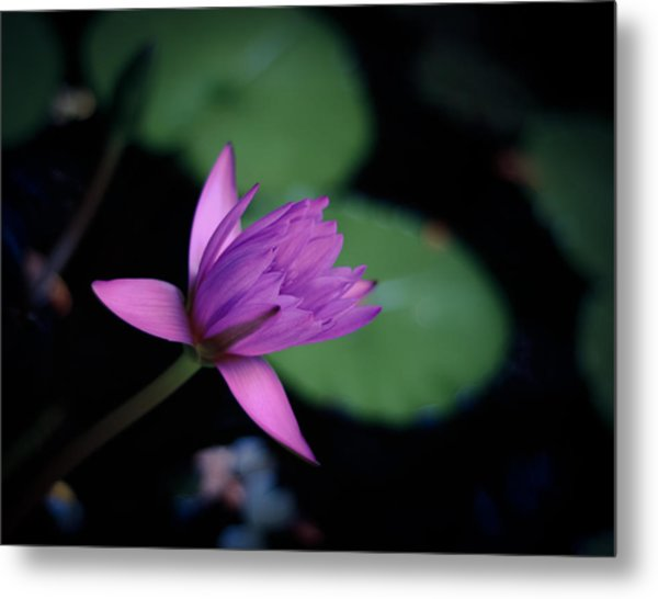 Opening Water Lily Metal Print