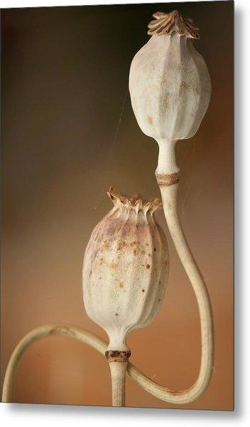 Opium Poppy Seedheads Metal Print