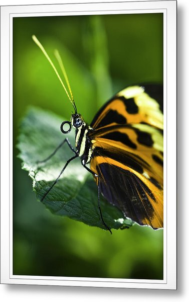 Orange And Black Butterfly Metal Print