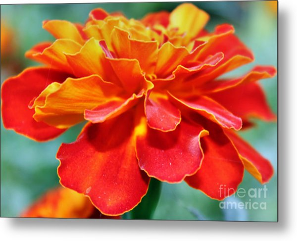 Orange And Yellow Marigold Metal Print by Judy Palkimas