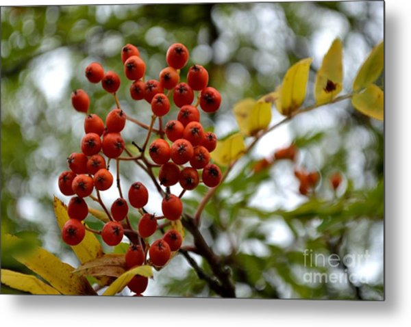 Orange Autumn Berries Metal Print
