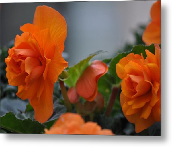 Orange Beauties Metal Print