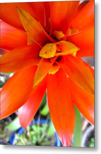 Orange Bromeliad Metal Print