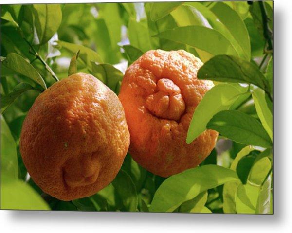 Orange (citrus Sinensis) Tree In Fruit Metal Print by Adrian Thomas