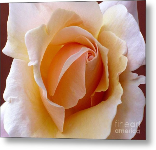 Orange Cream Rose Metal Print