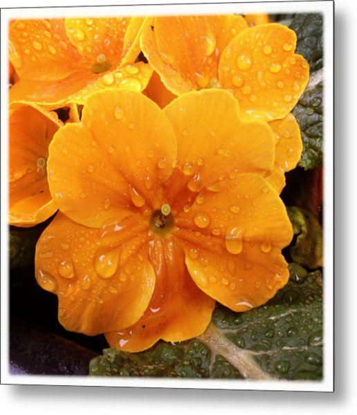 Orange Flower With Water Drops Metal Print