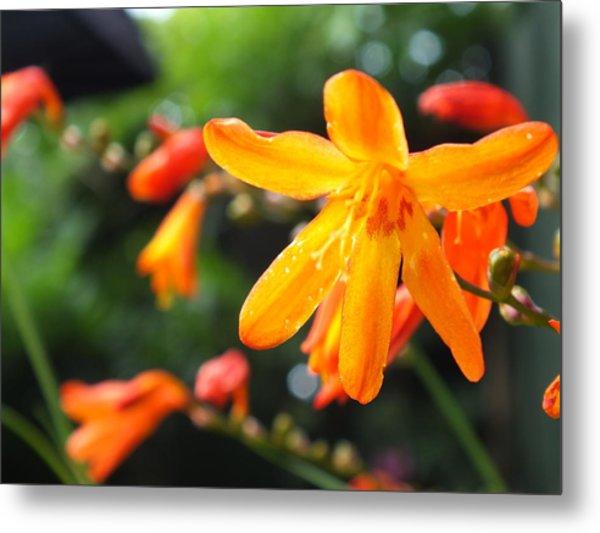 Orange Flowers Metal Print by Jason Davies