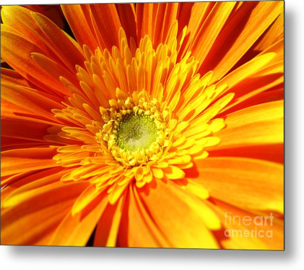 Metal Print featuring the photograph Orange Gerbera by Cristina Stefan
