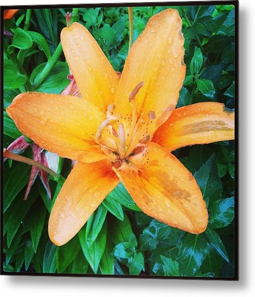 #orange #lily After The #rain Is Still Metal Print