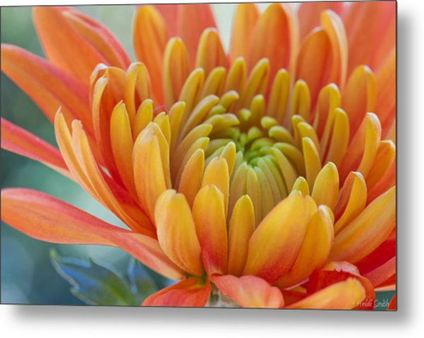 Orange Mum Closeup Metal Print