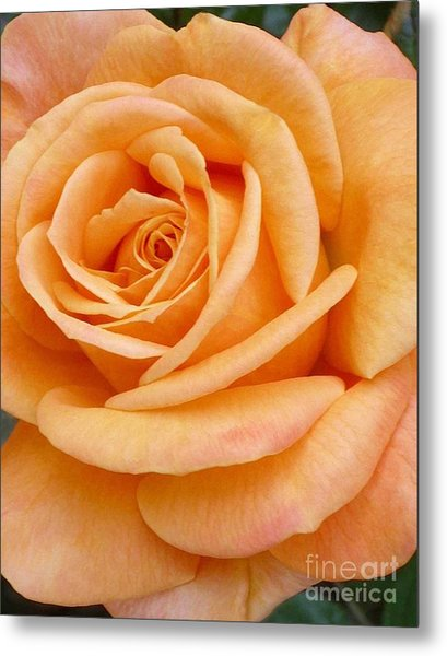 Orange Rose Blossom Special Metal Print