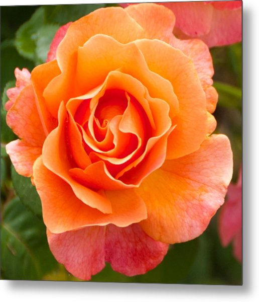 Orange Rose Lillian Metal Print