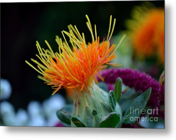 Orange Safflower Metal Print