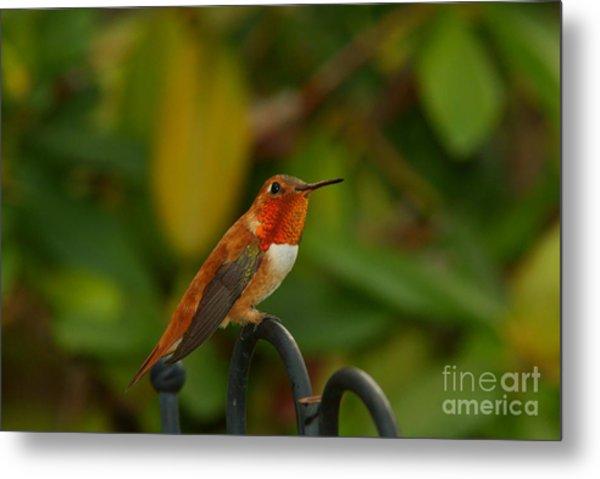 Orange Throated Hummingbird Metal Print