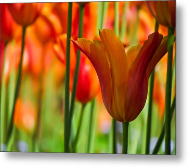 Orange Tulip Garden Metal Print