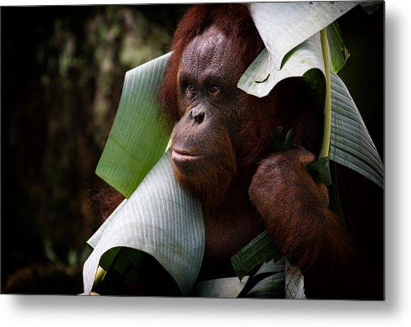 Orangutan Metal Print by Zoe Ferrie