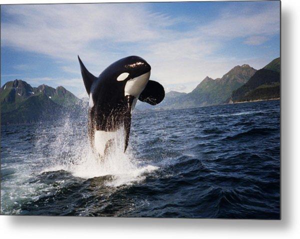Orca Breach Metal Print