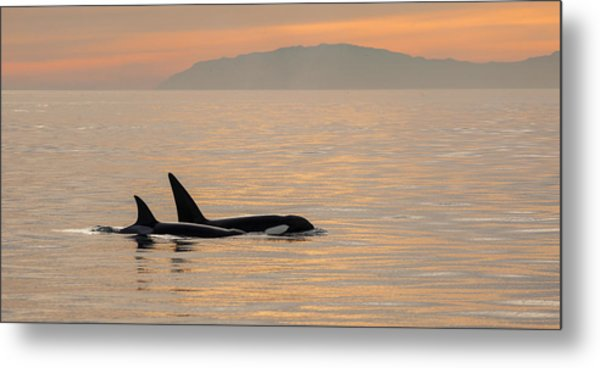Orcas Off The California Coast Metal Print