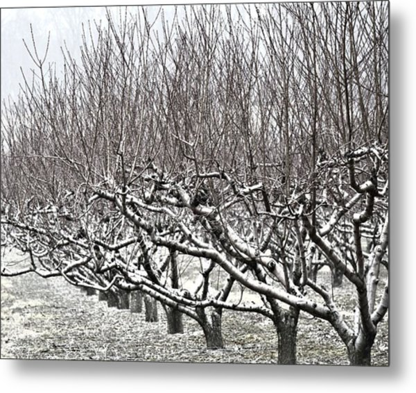 Orchard In Winter Metal Print