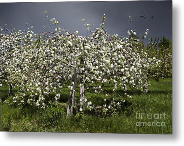 Orchard Metal Print by Karin Pinkham