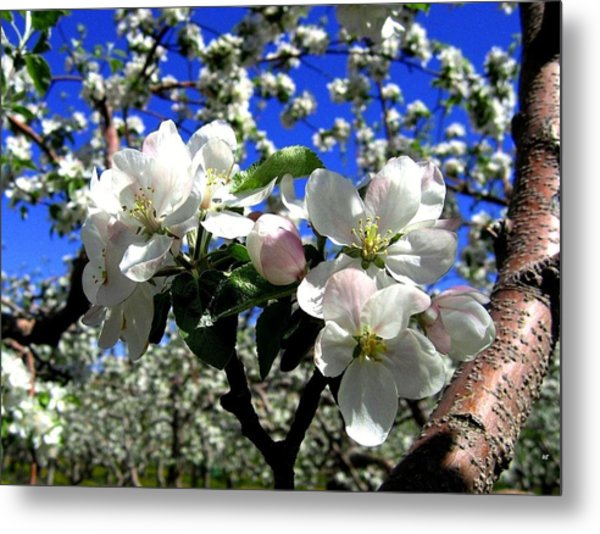 Orchard Ovation Metal Print