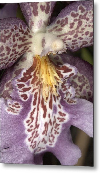 Orchid 483 Metal Print