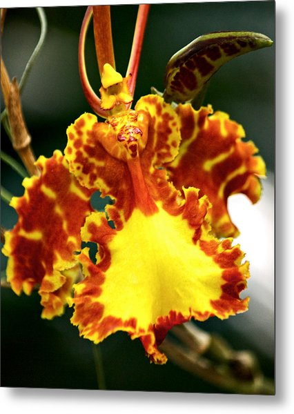 Orchid Metal Print by Andrew Chianese