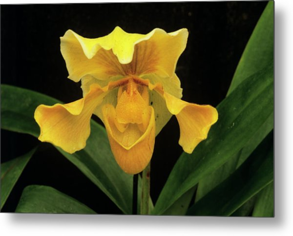 Orchid (paph.sp.) Metal Print by Sally Mccrae Kuyper/science Photo Library